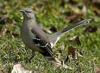 Adult northern mockingbird in grass