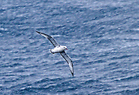 Southern Fulmar flying through snow in the Southern Ocean