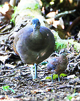 Great tinamou and chick