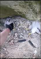 BNPS.co.uk (01202 558833)<br /> Pic: RSPB/BNPS<br /> <br /> The RSPB went to rescue the orphaned chicks.<br /> <br /> An orphaned peregrine falcon chick whose parents were deliberately poisoned has been tagged as it prepares to leave its adopted nest.<br /> <br /> The young bird was rescued from its nest by experts after its parents were found dead on the ground.<br /> <br /> It was placed into a nest with another chick of similar age in the tower of Salisbury Cathedral, Wilts, and reared by its adopted mother.<br /> <br /> Phil Shelldrake, of the RSPB, has ringed the chick so they can monitor it in the future before it flies the nest.
