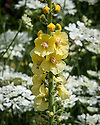 "Verbascum 'Christo's Yellow Lightning' in front of white Orlaya grandiflora, early June. ""An impressive short-lived perennial, which is possibly a hybrid between Verbascum speciosum and Verbascum chaixii. Discovered in the stockbeds at Great Dixter...Won a unanimous AGM at the plant trials at Wisley where it was unrivalled for its spectacular chunky flower spikes."" [Fergus Garrett]"