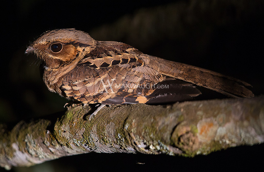 We had good luck with a number of different nightjar species in Emas National Park.