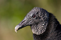 Black Vulture, Coragyps atratus, Everglades National Park, Florida