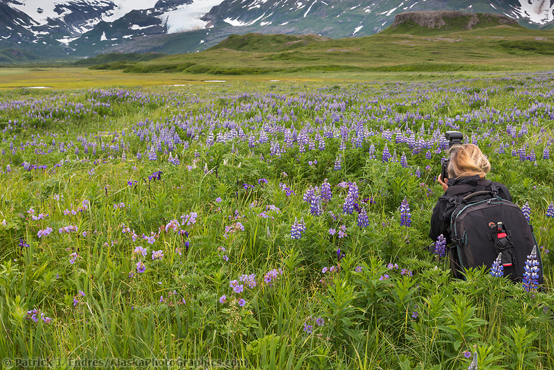 Photographer in a wildflower meadow filled with lupine blossoms, Katmai National Park, Alaska Peninsula, southwest Alaska.