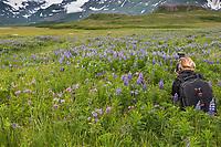 Photographer in a wildflower meadow filled with lupine blossoms, Katmai National Park, Alaska Peninsula, southwest Alaska.