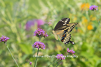 03017-01320 Giant Swallowtail butterfly (Papilio cresphontes) on Brazilian Verbena (Verbena bonariensis), Marion Co., IL
