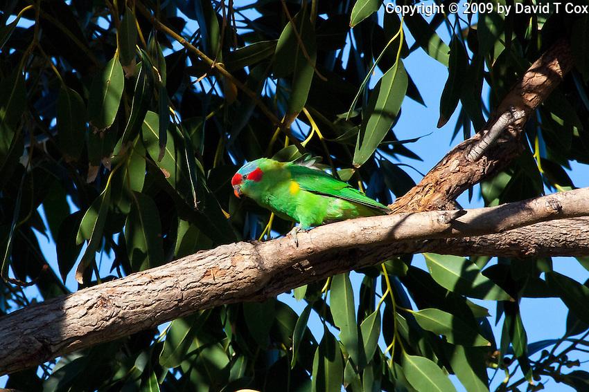 Musk Lorikeet, Nelson Bay, NSW, Australia