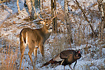 White-tailed buck and a wild turkey in northern Wisconsin.