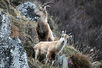 Two capra ibex standing close together