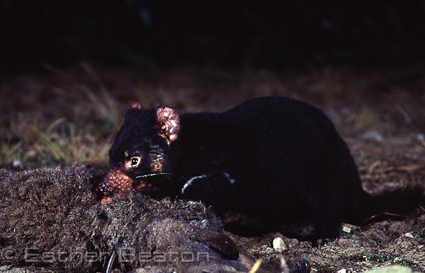 Closeup of Tasmania Devil (Sarcophilus harrisii) eating kangaroo carcass at night. Asbestos Range National Park, Tasmania