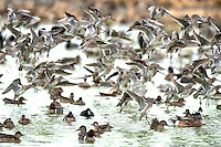Flock of Dowitchers