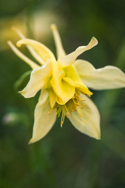 """Aquilegia chrysantha 'Yellow Queen', mid May. """"Attractive grey-green, broadly divided leaves and long graceful stems supporting forward-facing pale lemon flowers. The species in its native southwestern United States is pollinated by long-tongued hawk moths, able to reach into the backswept spurs containing the nectar. 'Yellow Queen' flowers for longer than most columbines...Reliably perennial but tires with age."""" [Fergus Garrett, Great Dixter, Gardens Illustrated magazine, May 2013]"""