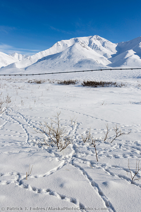 Willow ptarmigan tracks in the snow by Atigun Pass, Arctic, Alaska.