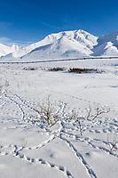 Willow ptarmigan tracks in the snow by Atigun Pass, Arctic, Alaska.