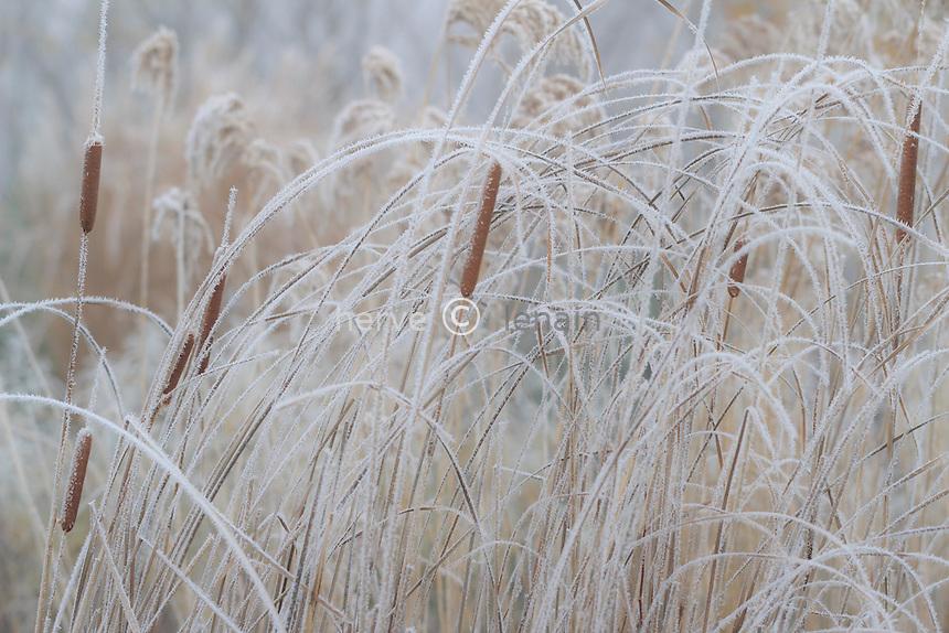 givre sur massette, Typha sp. // frost on  bulrush, Typha sp.