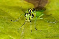 Grüne Blattwespe, Weibchen, Rhogogaster chlorosoma, Tenthredo chlorosoma, Green Sawfly
