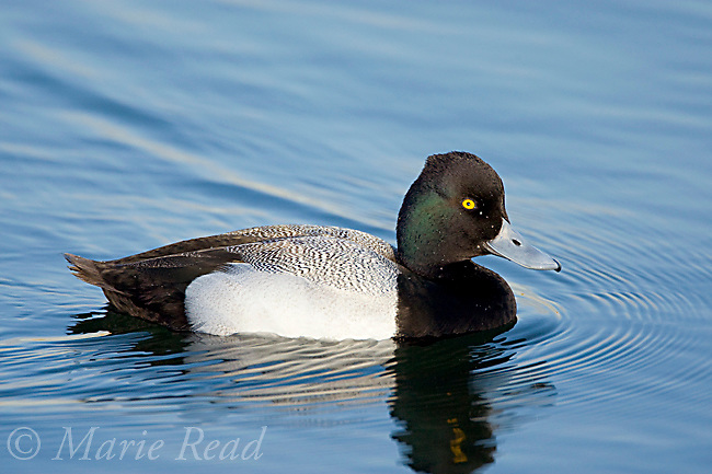 Lesser Scaup (Aythya affinis) male breeding plumage, Bolsa Chica Ecological Reserve, California, USA