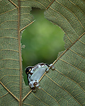 Frog peers through a leaf by Tanto Yensen