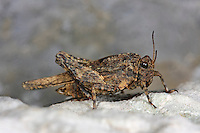 Eingedrückte Dornschrecke, Uvarovitettix depressus, Depressotetrix depressa, Tettix depressus, Tettix depressa, Tetrix depressus, Ground-hopper, Groundhopper, Le Tétrix déprimé, Dornschrecken, Tetrigidae, grouse locusts, pygmy locusts, groundhoppers, pygmy grasshoppers