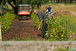 Landscape worker spreading mulch in with machine and coworkers in background