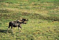 Bull Moose in spring velvet antlers treks across green tundra, Denali National Park, Alaska