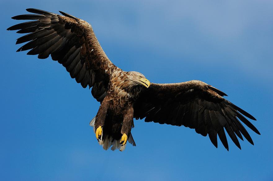 White tailed Sea eagle, Haliaeetus albicilla, The Living Sea, North Atlantic, Flatanger, Nord-Trondelag, Norway.