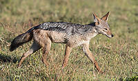 We saw a few of these jackals in the Ngorongoro Crater.