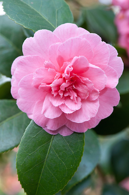 Camellia 'Preston Rose', late March.