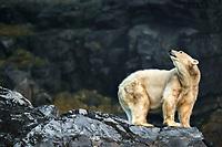 Polar Bear (Ursus maritimus), looking up, adult, Svalbard, Spitsbergen, Norway, Europe