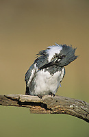Belted Kingfisher, Megaceryle alcyon,male preening, Willacy County, Rio Grande Valley, Texas, USA