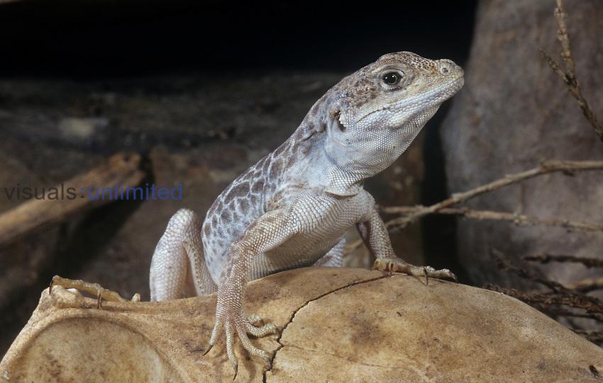 Long-nose Leopard Lizard (Gambelia wislizenii), USA.