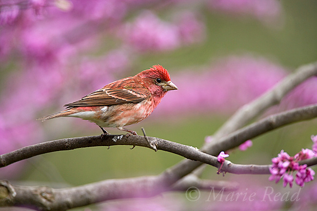 Purple Finch (Carpodacus purpureus) adult male perched in flowering eastern redbud, New York, USA