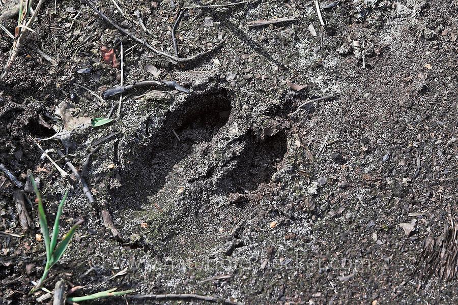 Rotwild, Rothirsch, Trittsiegel im Erdboden, Fußspur, Fußabdruck, Cervus elaphus, red deer