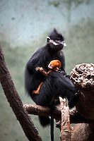 Francois's Langur (Trachypithecus francoisi) with baby at Omaha's Henry Doorly Zoo in Omaha, Nebraska on August 11, 2010.