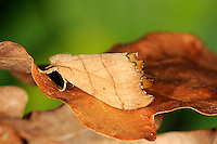 Scalloped Hook-tip Falcaria lacertinaria Length 20mm. A distinctive moth that, at rest, holds its wings in a tent-like manner and looks like a dead leaf. Adult has wings with scalloped edges and dark veins; wings are reddish grey in male, yellow-brown in female. Double-brooded: flies May-June and again in August. Larva feeds on birch leaves. STATUS Widespread and fairly common throughout much of Britain.