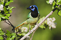 Green Jay (Cyanocorax yncas), adult, Sinton, Corpus Christi, Coastal Bend, Texas, USA
