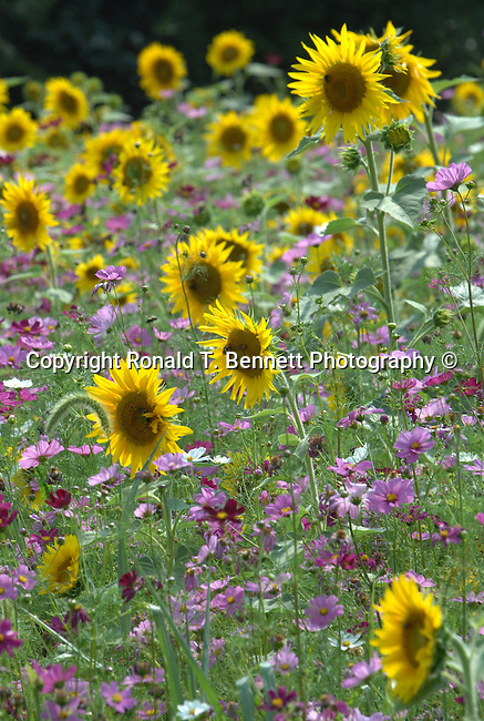 Garden of sun flowers Commonwealth of Virginia, Fine Art Photography by Ron Bennett, Fine Art, Fine Art photography, Art Photography, Copyright RonBennettPhotography.com ©