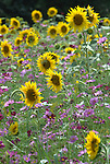 Garden of sun flowers Commonwealth of Virginia, Fine Art Photography by Ron Bennett, Fine Art, Fine Art photography, Art Photography, Copyright RonBennettPhotography.com ©