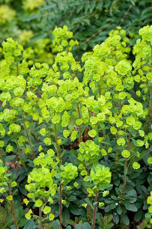 Garden variety of wood spurge (Euphorbia amygdaloides var. robbiae syn. E. robbiae), early April. Also comonly known as Mrs Robb's bonnet.