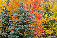 Spruce and aspen trees in autumn, Idaho