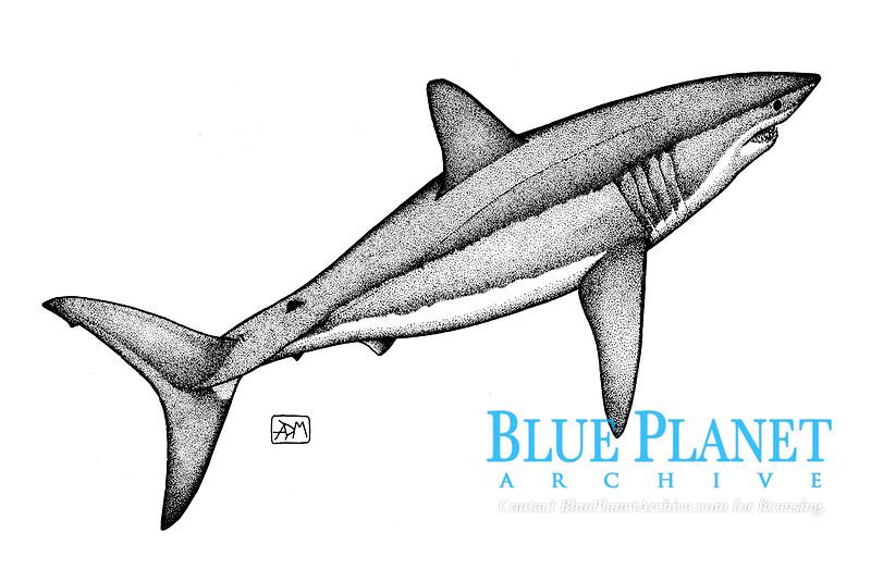 Shortfin mako shark, Isurus oxyrinchus, swimming, pen and ink illustration.