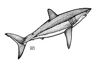 Shortfin mako shark, Isurus oxyrinchus, swimming, pen and ink illustration.