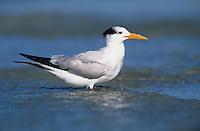 Royal Tern, Sterna maxima, adult winter plumage, Sanibel Island, Florida, USA, Dezember 1998