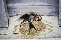 Europe/France/Aquitaine/40/Landes/ Chalosse/ Gaujacq: Détail d'un nid d'hirondelles  sous la galerie du Château, la mère apporte la nourriture à ses petits