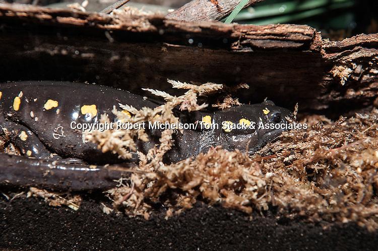 Spotted Salamander in peat moss, 3/4 shot