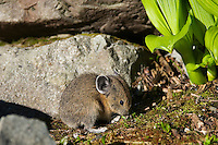 Pika (Ochotona princeps) eating along edge of alpine rock pile.  Pacific Northwest.  Summer.
