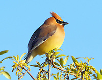 First-year cedar waxwing