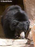 0326-1005  Sloth Bear (Labiated Bear), Melursus ursinus  © David Kuhn/Dwight Kuhn Photography.