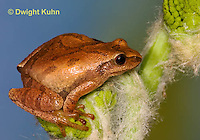 FR16-501z  Spring Peeper showing cross on back, Hyla crucifer or Pseudacris crucifer