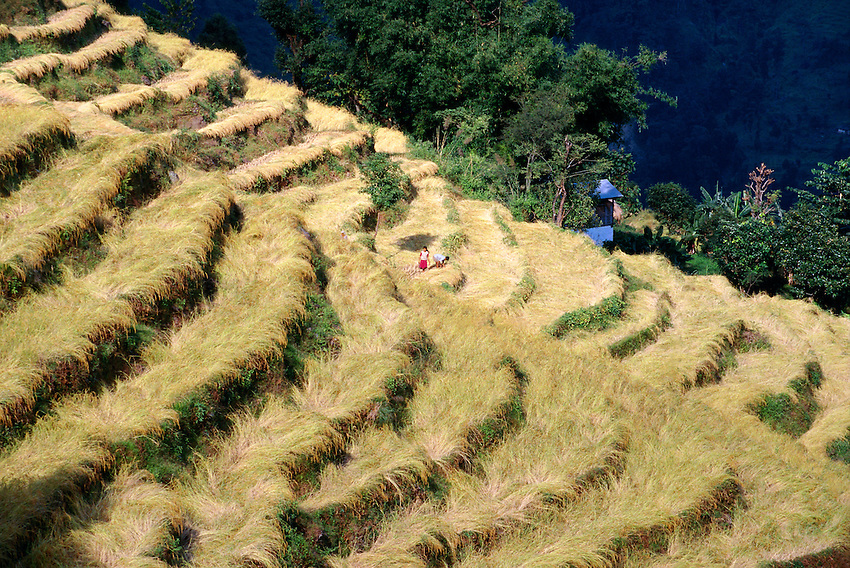 Rice terraces, Nonli, Sikkim, India